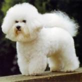Perro de raza Bichon Boloñés