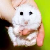 Adiestramiento y manejo del Hamster