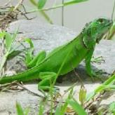 Infecciones respiratorias de las Iguanas