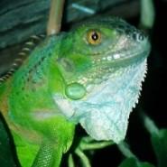 Quemaduras y parasitos en las Iguanas