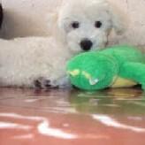 Este es Doky, bello ejemplar de raza French Poodle