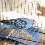 Como cuidar los pájaros de jaula
