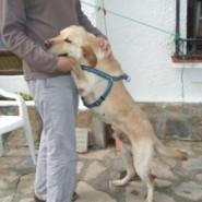 El perro labrador y su entrenador