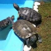 Cuidados que se deben tener con la tortugas de agua