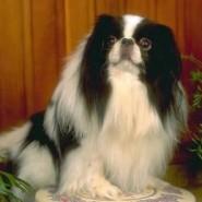 Fotos del perro Chin japonés