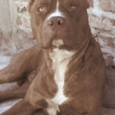 Fotos del Pit Bull Terrier