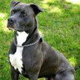 El Pit Bull Terrier, fiel pero temido