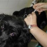 Cuanto tiempo tardan las vacunas en producir inmunidad en nuestro perro