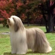 Salud y cuidados del perro Collie Barbudo