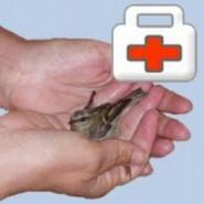Como proceder con un ave herida