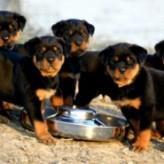 La alimentación del cachorro