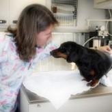 La hepatitis canina, sintomas, infecciones y tratamiento