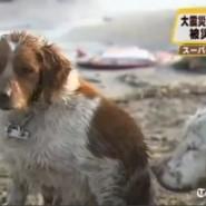 Perros en el Tsunami del Japón