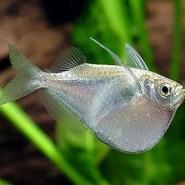 El pez hacha