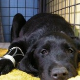 Que causa la anemia en las mascotas