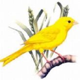 La salud de lo canarios