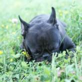 Porque los perros comen hierba