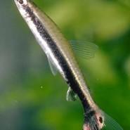 El pez lápiz