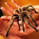 Como criar una araña pollito
