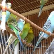 Como es mejor criar los pericos australianos, en colonia o individual