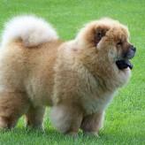 Cuanto es el tiempo de gestación del perro de raza chow chow