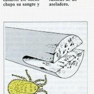 Parasitos externos en los pajaros