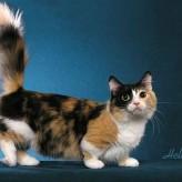 Razas de gatos, el Munchkin