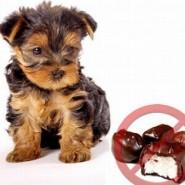 Porque los perros no deben comer chocolate