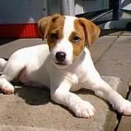 Perro de raza Jack Russell Terrier