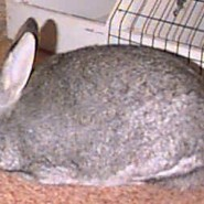 Raza de conejo American Sable o Sable Americano