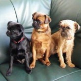 Perros de raza Petit Brabançon