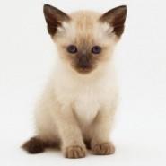 El gato Siamés y sus caracteristicas