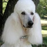 Cuidados básicos de un French Poodle