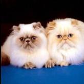 Hermosas fotos de gatos angora