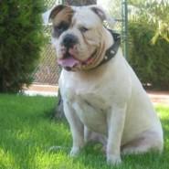 Caracteristicas del perro Bulldog Americano