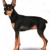 Bellas razas de perros,  el Pinscher