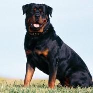 Enfermedades que pueden sufrir los Rottweiler