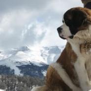 Características del perro de raza San Bernardo
