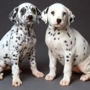 Como entrenar a un perro Dalmata