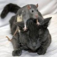 Por qué los ratones le tienen miedo a los gatos.