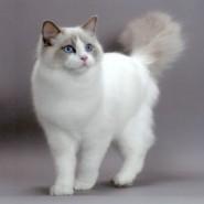 Características del gato Ragdoll