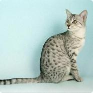 Características del gato Mau Egipcio