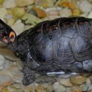 Como cuidar las tortugas de agua en verano
