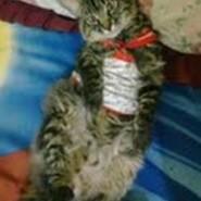 Conozca a Chito, hermoso gato de raza bobtail