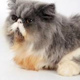 Enfermedades de gatos domésticos