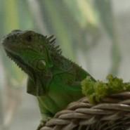 Vitaminas y Calcio para las Iguanas