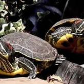 Las tortugas de agua exigen cuidados permanentes
