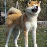 Comportamiento del perro de raza Akita