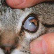 Que es el tercer párpado en los ojos del gato