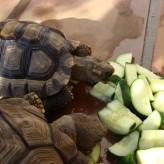 La falta de apetito en las tortugas